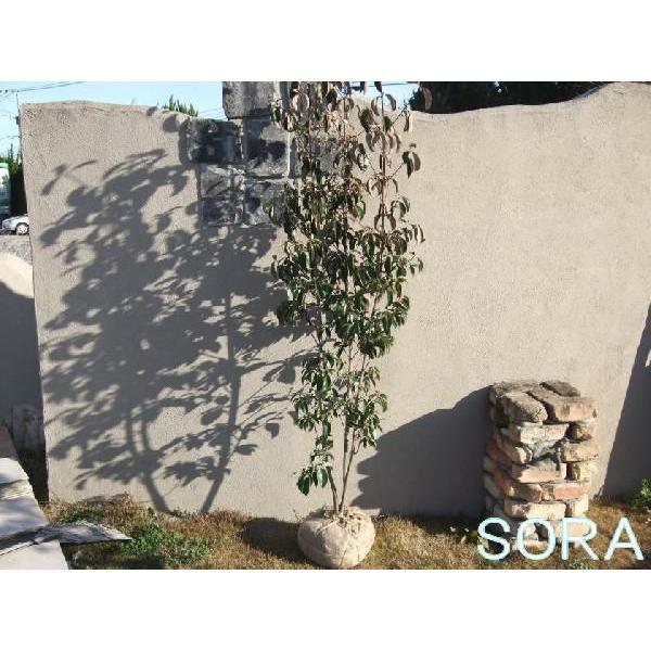 常緑ヤマボウシ 株立 樹高H:1800mm 植木 苗
