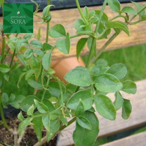 ハゴロモジャスミン 9〜10.5cmポット 1本 植木 苗