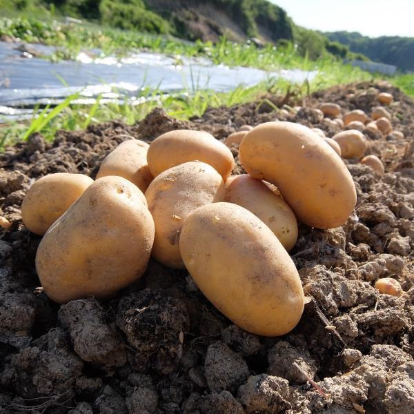 オーガニック 自社農場直送 ジャガイモ インカのめざめ(馬鈴薯系) 農薬無散布 S〜L混合 8kg送料無料|egfarm|02