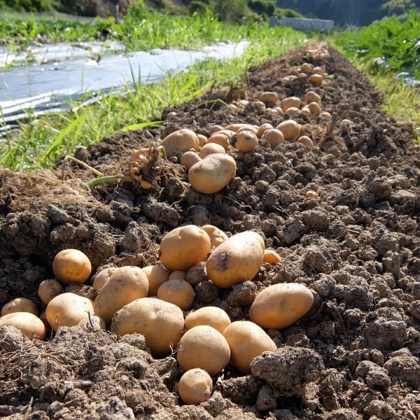 オーガニック 自社農場直送 ジャガイモ インカのめざめ(馬鈴薯系) 農薬無散布 S〜L混合 8kg送料無料|egfarm|04