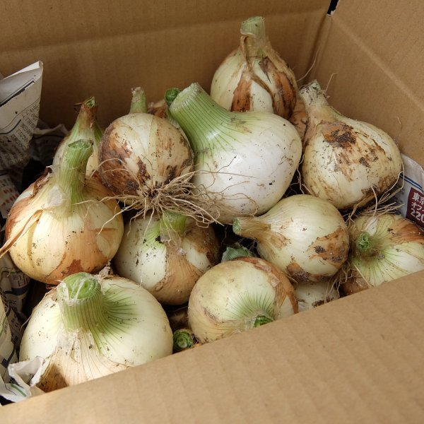 オーガニック 自社農場直送 新玉ねぎ 農薬無散布 8kg (M・L混合) 送料無料 egfarm 04