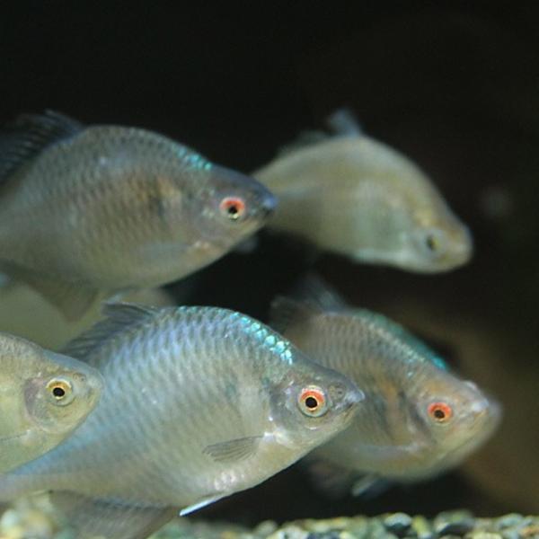|タイリクバラタナゴ 5匹 S〜M 約2cm〜4cm タナゴ 川魚