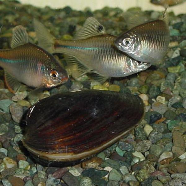 |イシガイ5匹/イシ貝/淡水二枚貝/産卵/繁殖 川魚