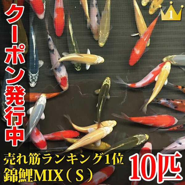 |錦鯉MIX(S) 10匹 10〜13cm前後 紅白/昭和三色/光物/銀鱗/ドイツ/白写り/べっ甲/…