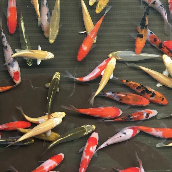 |錦鯉MIX(SS) 10匹 7cm〜10cm前後 紅白/昭和三色/光物/銀鱗/ドイツ/白写り/べっ…