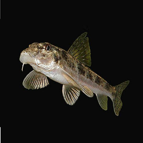 カマツカ3匹S(4cm〜8cm前後)川魚水槽内のおそうじ屋さん淡水魚
