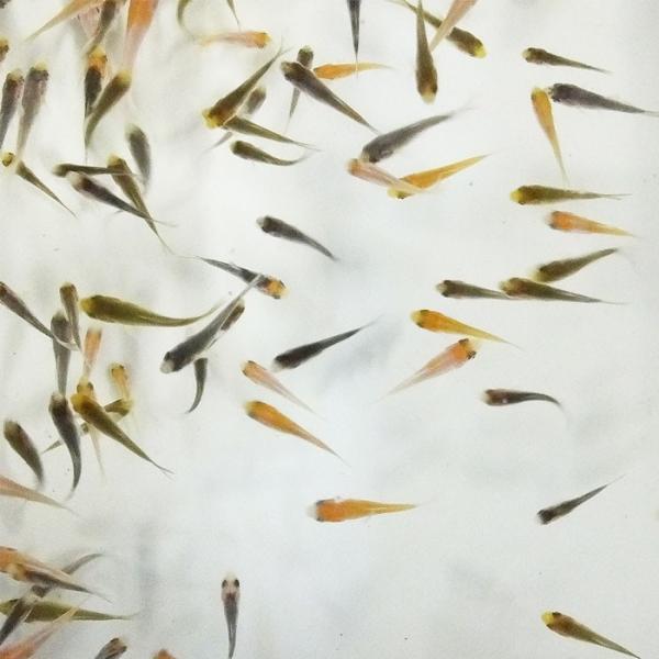 |錦鯉MIX 稚魚 50匹 1cm〜5cm 生体
