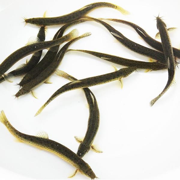 |ドジョウ/どじょう5匹 (S〜M) 8cm〜13cm前後 川魚 釣り餌 (淡水魚)生餌 エサ用