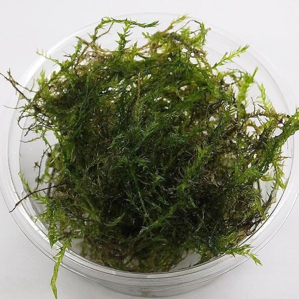 【数量限定】ウィローモス 1カップ 約10g(無農薬) 国産 金魚藻【定形外送料無料】