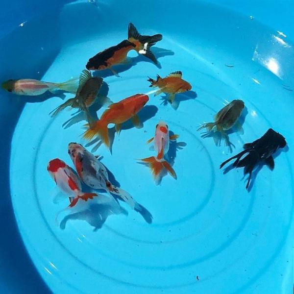 |金魚 オタマ金魚ミックス(5匹) 約3cm〜6cm前後 金魚ミックス