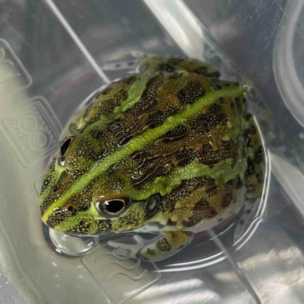 カエル アフリカウシガエル(約1-5cm) 1匹 【両生類】
