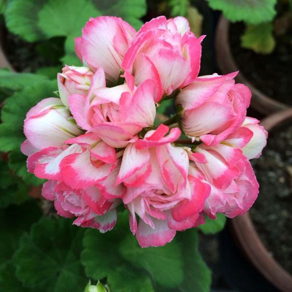 草花の苗/ゼラニウム:アップルブロッサムローズバッドデニス3〜3.5号ポット