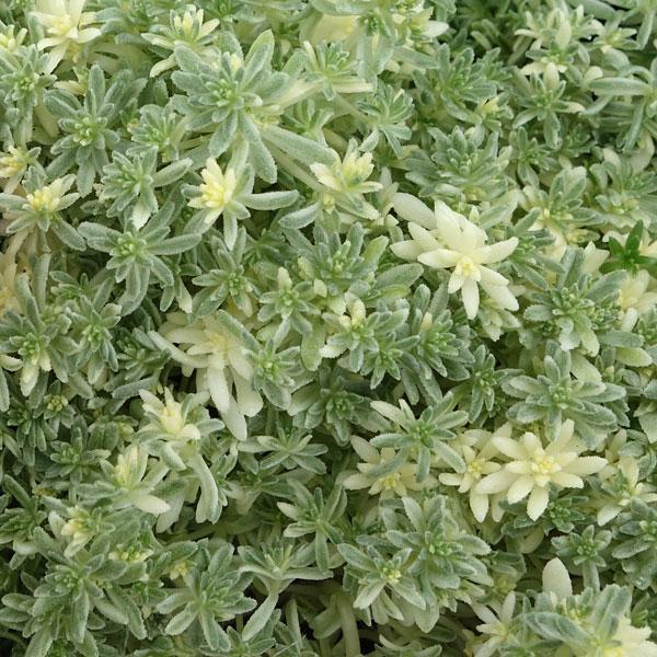 観葉植物/セダム:ミルクゥージ3号ポット 2株セット|engei