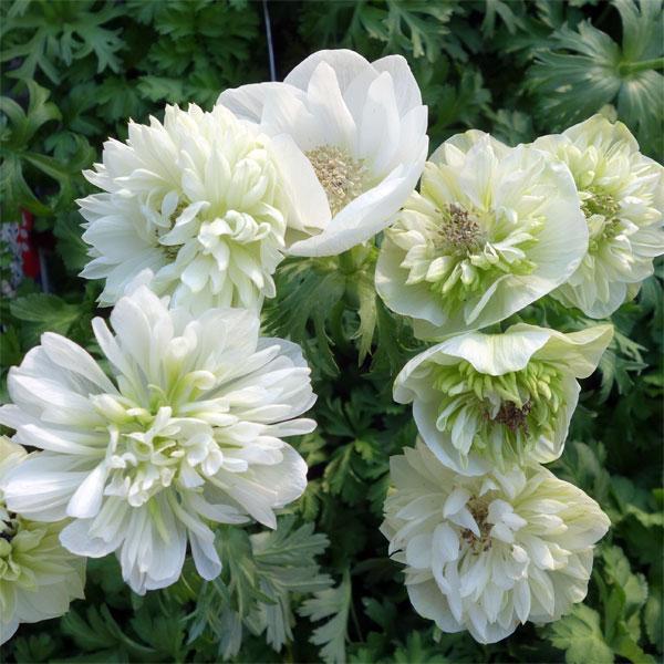 草花の苗/アネモネ:凛々花(リリカ)ホワイト3.5号ポット