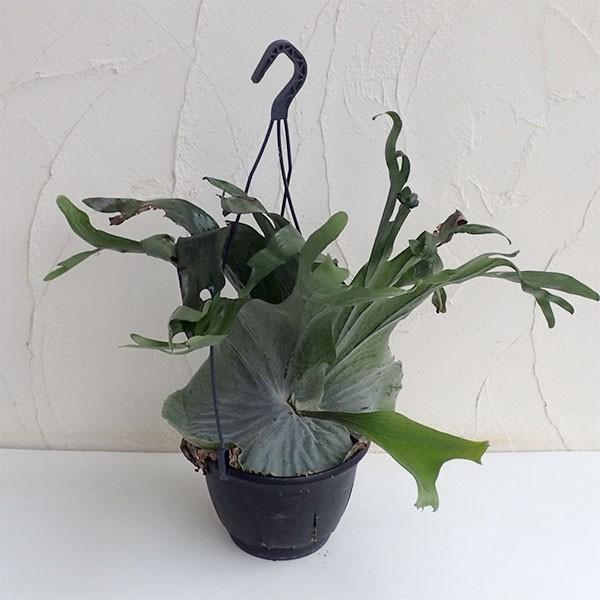 観葉植物/コウモリラン:グランデ7号鉢入り