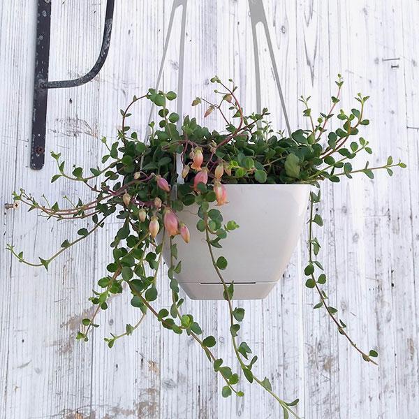 草花の苗/カランコエ・フィフィ4号吊鉢植え