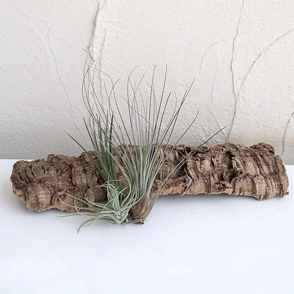 観葉植物/チランジア(エアプランツ)3株とバージンコルクディスプレイのセット|engei|02