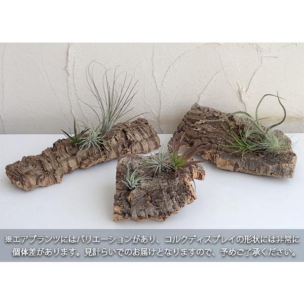 観葉植物/チランジア(エアプランツ)3株とバージンコルクディスプレイのセット|engei|03