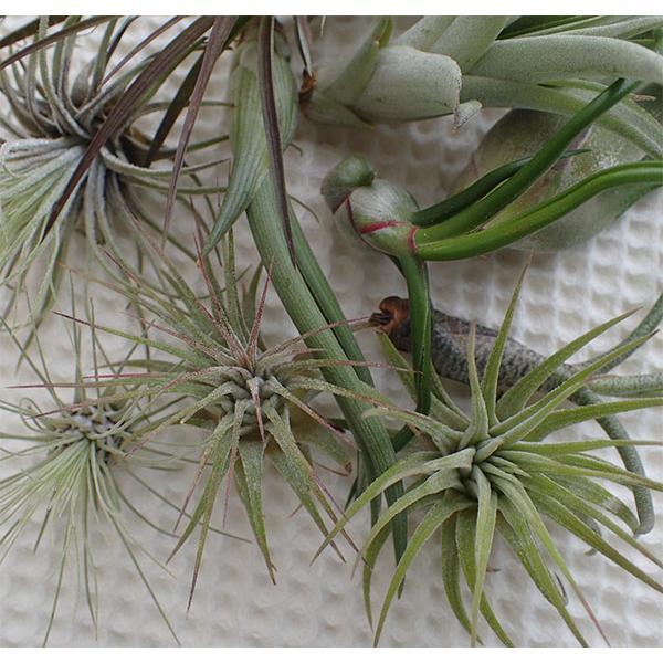 観葉植物/チランジア(エアプランツ)3株とバージンコルクディスプレイのセット|engei|04
