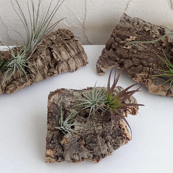 観葉植物/チランジア(エアプランツ)3株とバージンコルクディスプレイのセット|engei|09