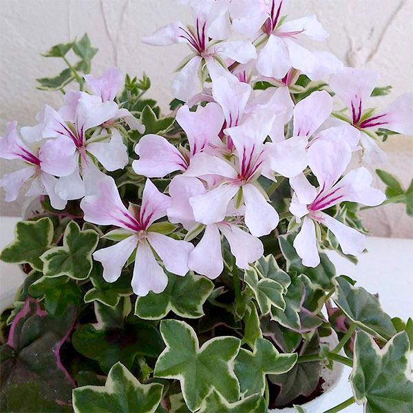 草花の苗/カラーリーフアイビーゼラニウム:エレガンス3号ポット2株セット