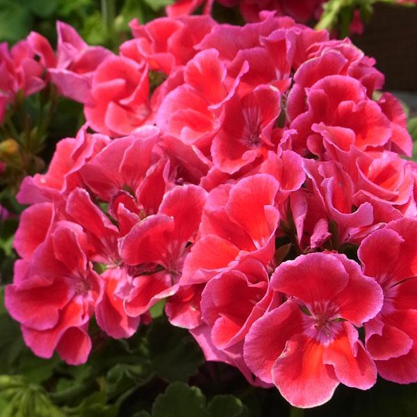 草花の苗/ゼラニウム:カリオペレッドスプラッシュ5号鉢植え