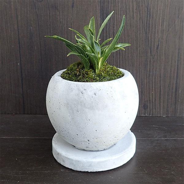 観葉植物/ギフトに 万年青 (おもと)マルモボウル白(直径10cm)・受け皿付き|engei