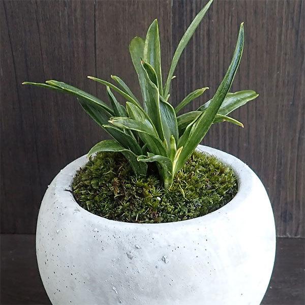 観葉植物/ギフトに 万年青 (おもと)マルモボウル白(直径10cm)・受け皿付き|engei|02