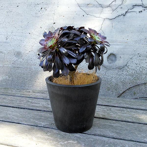 観葉植物/ギフトに アエオニウム:黒法師(クロホウシ)3.5号鉢植え/シティローMブラック|engei