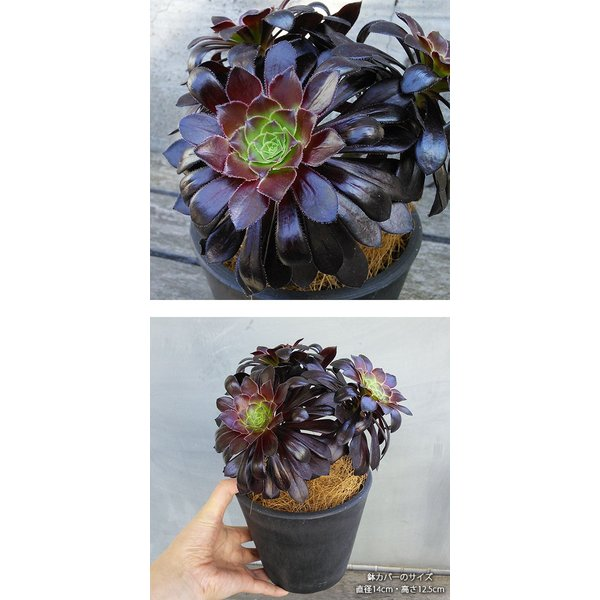 観葉植物/ギフトに アエオニウム:黒法師(クロホウシ)3.5号鉢植え/シティローMブラック|engei|02