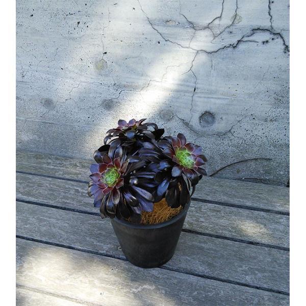 観葉植物/ギフトに アエオニウム:黒法師(クロホウシ)3.5号鉢植え/シティローMブラック|engei|03