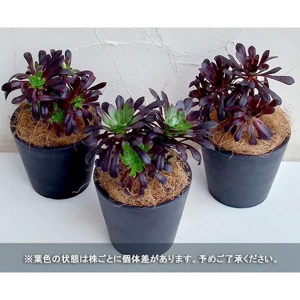 観葉植物/ギフトに アエオニウム:黒法師(クロホウシ)3.5号鉢植え/シティローMブラック|engei|05