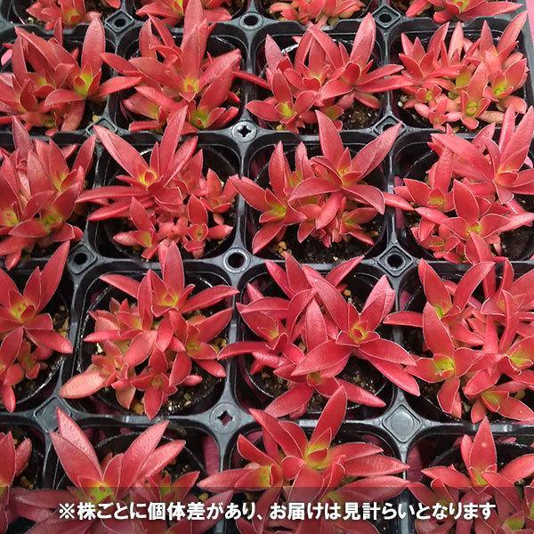 観葉植物/クラッスラ:紅葉祭り(もみじまつり)2.5号ポット 6株セット|engei|06
