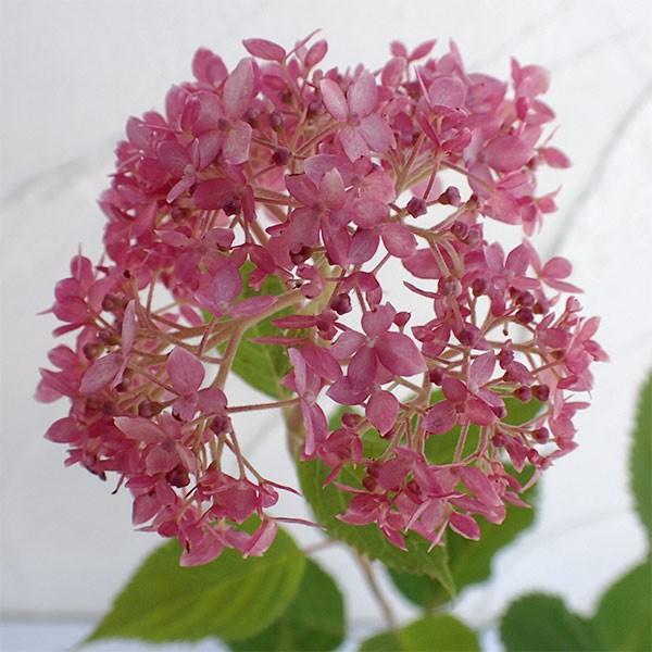 花木 庭木の苗/アジサイ:アナベル(ピンク花)6号鉢植え engei