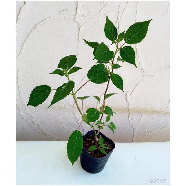 花木 庭木の苗/アメリカアジサイ:ライムのアナベル3.5号ポット engei 03