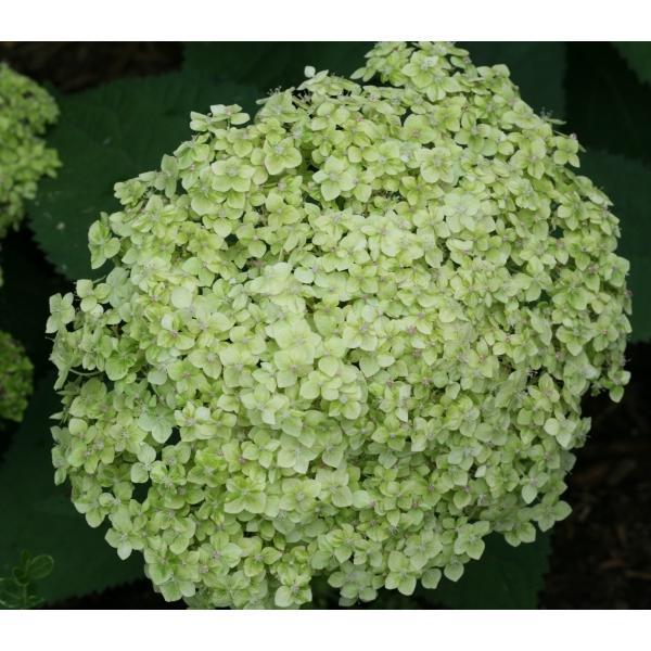 花木 庭木の苗/アメリカアジサイ:ライムのアナベル3.5号ポット engei 05
