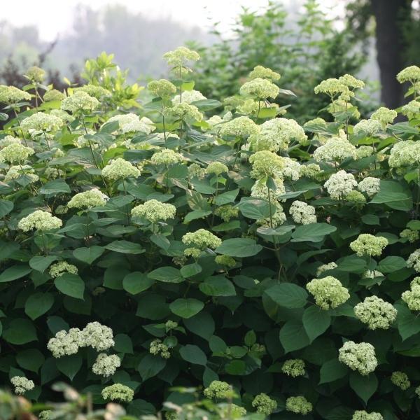 花木 庭木の苗/アメリカアジサイ:ライムのアナベル3.5号ポット engei 06
