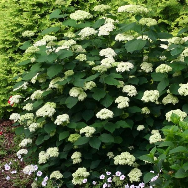 花木 庭木の苗/アメリカアジサイ:ライムのアナベル3.5号ポット engei 07