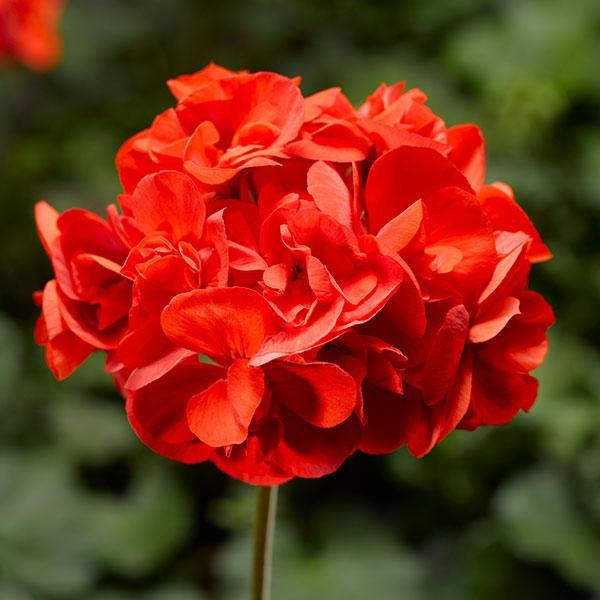 草花の苗/ゼラニウム:アメリカーナNEOスカーレット5号鉢植え
