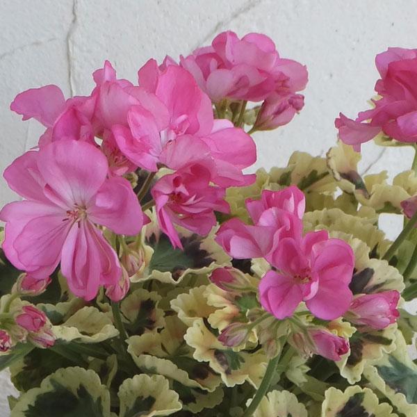 草花の苗/ゼラニウム:リトルジップ6号鉢植え