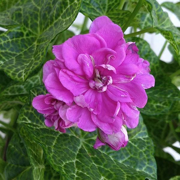 草花の苗/アイビーゼラニウム:クロックオーディ4号鉢植え