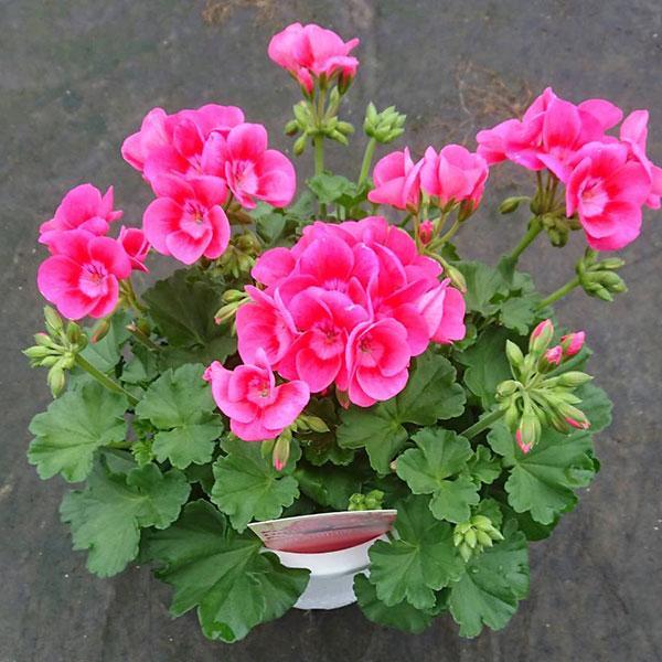 草花の苗/ゼラニウム:プリティーリトルピンク5号鉢植え