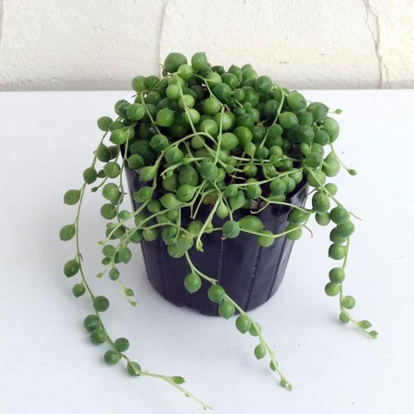 観葉植物/グリーンネックレス3号ポット苗