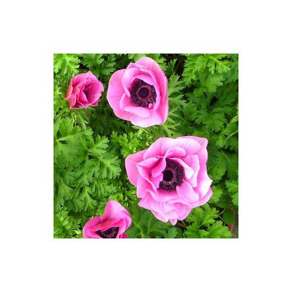 草花の苗/アネモネ:ポルト オーキッド3.5号ポット