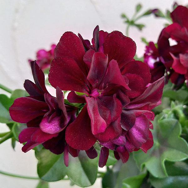 草花の苗/アイビーゼラニウム:トムキャット6号鉢植え