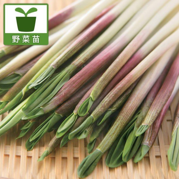 野菜の苗/行者ニンニク(アイヌネギ)1芽植え3号ポット2株セット engei