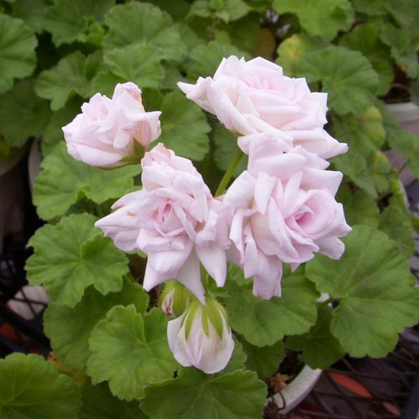 草花の苗/バラ咲きゼラニウム:ミルフィーユローズ3号ポット