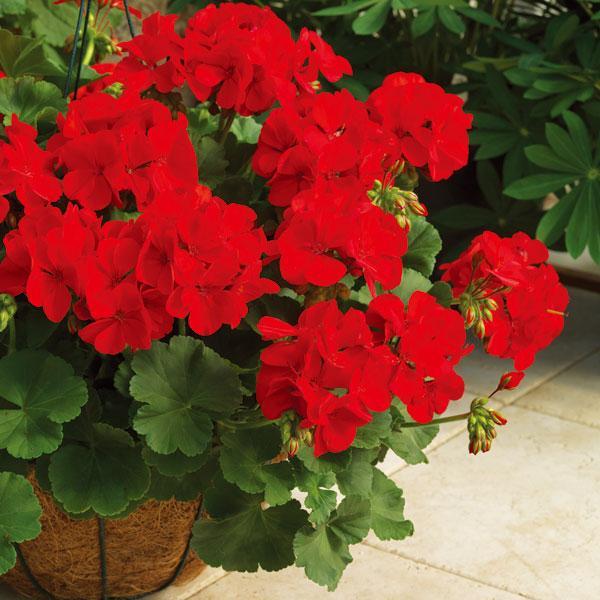 草花の苗/ゼラニウム:カリオペダークレッド5号鉢