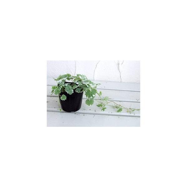 斑入カキドオシ(グレコマ) 3号ポット 6株セット|engei|03