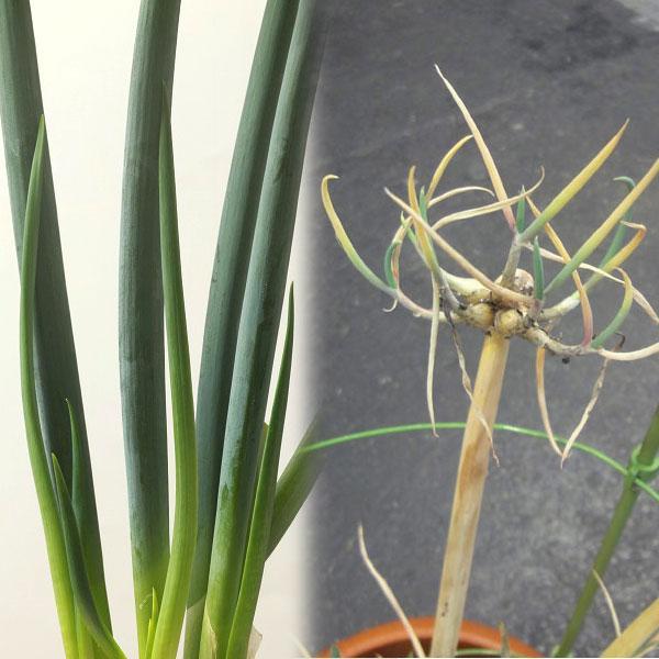 野菜の苗/やぐら葱3号ロングポット engei